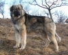Carpathian Sheepdog, 2 years, wolf-grey