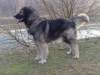 Carpathian Sheepdog, 3 years, wolf-grey