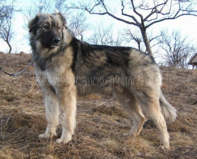 Carpathian Sheepdog, 2 years, wolf-grey, A true Romanian Carpathian Shepherd Dog, conform to FCI standard n 350