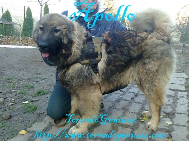 Caucasian Ovtcharka, 1, gray, Apollo is very strong and good dog for  a  family