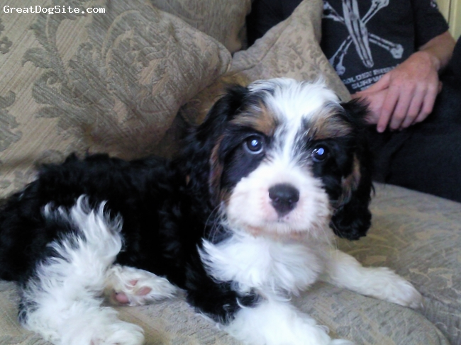 Cav-A-Malt, 16 weeks, Tri Colour, Gorgeous little female Cavalier x Maltese.