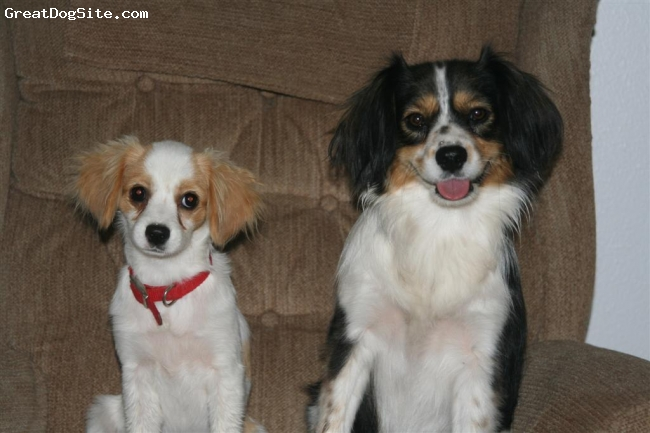 Cav-A-Mo, 5 mos & 2 yrs, Tan & White - Tri, Two male Cav-A-Mos at different ages and with different colors, CUTE!!