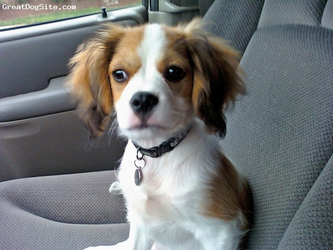 Cava-Chin, 4 Months, White/Buff, Howie loves car rides!