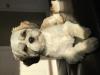 Cava-Tzu, 1 year, White, brown and grey