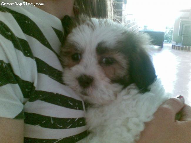 Cava-Tzu, Puppy Picture, Tan and White, Puppy Picture of Chloe the Cava-Tzu