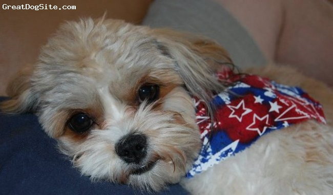 """Cava-Tzu, 1 year, tan, brown, white, black, This picture is after Lucy had her """"summer cut"""" right before the 4th of July.  We could not have even imagined how much we would love and adore our little darling Lucy!  I have a friend who has two cavaliers and I loved them but did not like the shedding.  Lucy is the most well behaved dog, never barks, loves to cuddle and play fetch she also loves to be held like a baby with her head over your shoulder and paws around your neck.  We had no trouble potty training her at all, she is very petite for this breed as she only weighs 8 lbs and is full grown.  I think everyone should own a cava tzu!"""