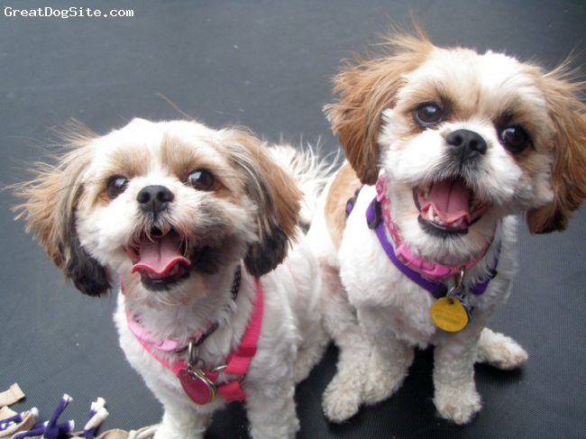 Cava-Tzu, 2 and 3, Brown and White, Basil and Lola are sisters from different litters.  They are a year apart.  They are best friends and are always together either snuggling, eating or playing.  They are easy going, quiet dogs who love attention and people.