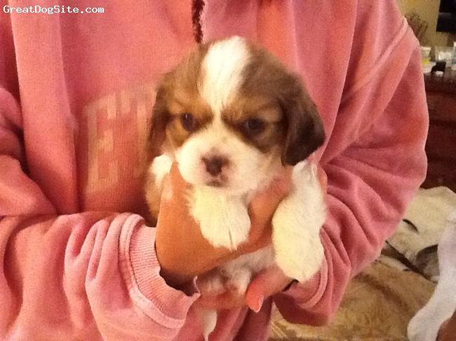 Cava-Tzu, 5 weeks, brown/white, Please email for more photos.  One male left. $600