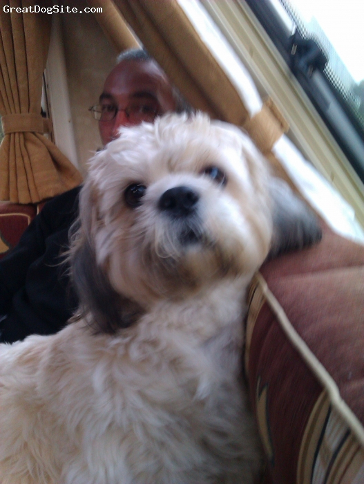 Cava-Tzu, 3, white and beige, fun loving, great personality , best dog ever