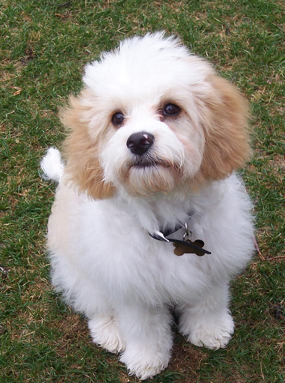 Cavachon Information Pictures Reviews And Qa Greatdogsite Com