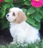 Cavachon, unsure, white