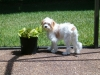 Cavachon, 8 1/2 months, white with apricot markings