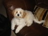 Cavachon, 1.5 yrs, white & peach