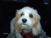 Cavachon, 5 months, white & lt. brown