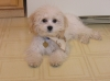 Cavachon, 4 months, cream and peach