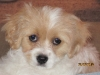 Cavachon, 8 wks, white and apricot