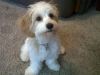 Cavachon, 5 months, white and tan