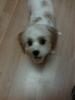 Cavachon, 8 months, White w/ Apricot