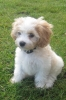 Cavachon, 3 months, Caramel and white