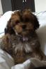 Cavachon, 6 months, Sable