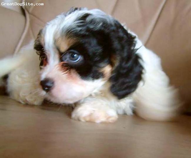 Cavachon, unsure, tri-color, tri-color puppy