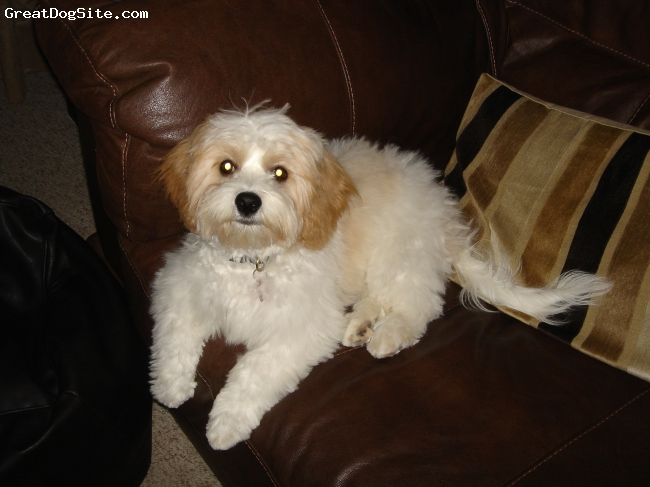 Cavachon, 1.5 yrs, white & peach, A wonderful dog with the most beautiful temperament.....loved by all who meet him !