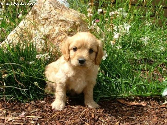 Cavachon, 6 weeks, gold, In the garden!