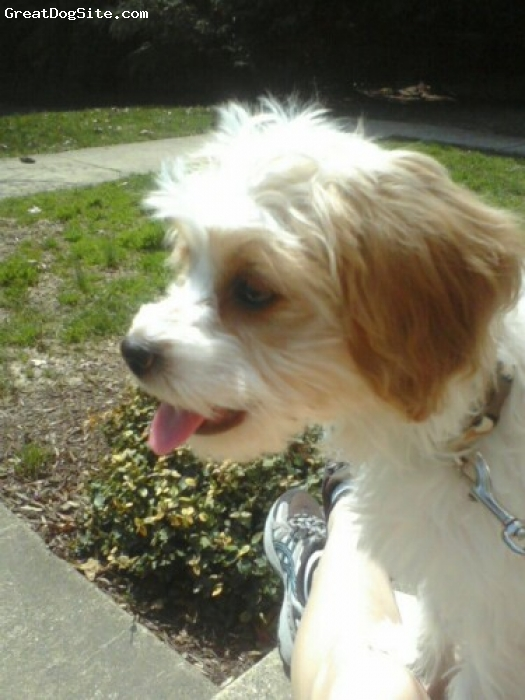 Cavachon, 4 months, White with beige spots, Very sweet and wonderfully smart!