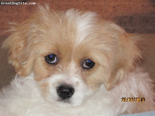 Cavachon, 8 wks, white and apricot, Loveable, stubborn, relatively easy to train, loves to play with our 7 yr old bichon, very friendly