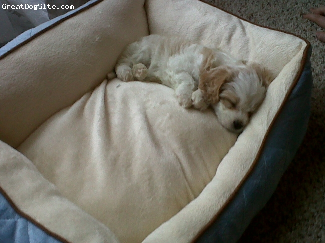 Cavachon, 6 weeks, white and tan, First time in my new bed