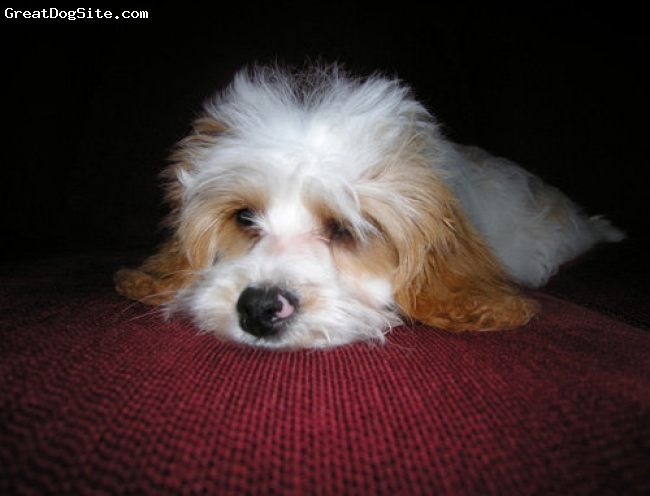 Cavachon, 1.5 years, tan and white, unbelieveable cute!