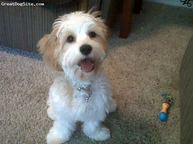 Cavachon, 5 months, white and tan, happy dog