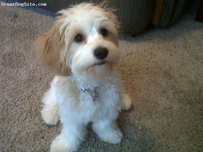Cavachon, 5 months, white and tan, sitting pretty