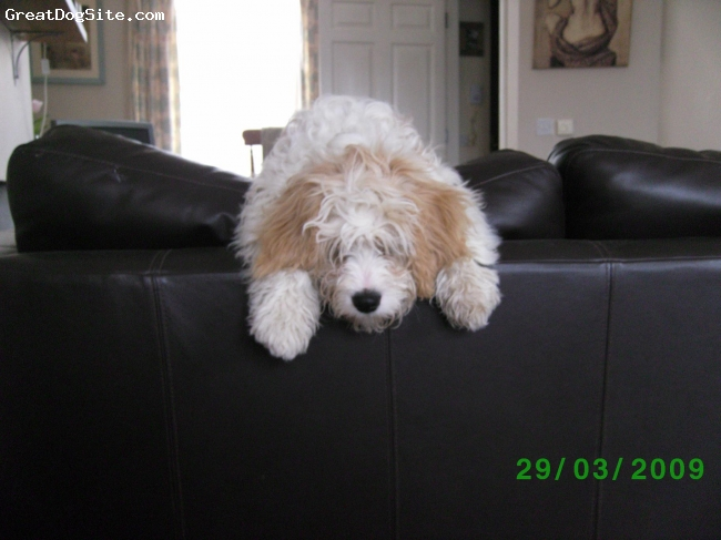 Cavachon, 18months, lemmon, very cute