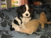 Cavalier King Charles Spaniel, 12 weeks, tri color