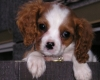 Cavalier King Charles Spaniel, 5mths, blenim