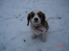 Cavalier King Charles Spaniel, 2 months, Broen and white blenheim