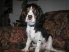 Cavalier King Charles Spaniel, 6 Months, tri colored