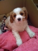 Cavalier King Charles Spaniel, 2 months, goldy/brown and white