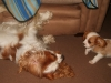 Cavalier King Charles Spaniel, 10 weeks and 2 and a half, blenheim