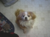 Cavalier King Charles Spaniel, 8 Years, Tan and white