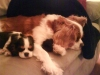 Cavalier King Charles Spaniel, 5mths & 3 yrs old, Black & White,  Blenheim