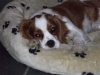 Cavalier King Charles Spaniel, 2 years, bleniem