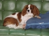Cavalier King Charles Spaniel, Approx. 8 mths here, Blenhiem