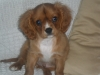 Cavalier King Charles Spaniel, 22 weeks, ruby and white