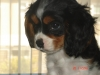 Cavalier King Charles Spaniel, 4, trycolor