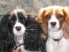 Cavalier King Charles Spaniel, 4 and 5 yrs, tri and blenheim