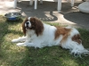 Cavalier King Charles Spaniel, 2 yr on Oct. 23, 2011, Blenhiem