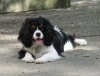 Cavalier King Charles Spaniel, 1 yr on Oct. 25, 2011, Tri-colour