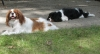 Cavalier King Charles Spaniel, Almost 2 and 1 yr, Blenhiem and Tri-colour